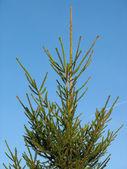 Fir tree for Christmas over blue sky — Stock Photo