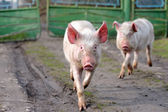 Running pig — Stock Photo