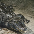 Stock Photo: Aggressive alligator