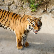 Tiger with bared fangs — Stock Photo #4085780