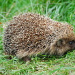 Hedgehog — Stock Photo #4233925