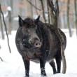 Wild boar - Stockfoto