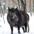 Wild boar - Zdjcie stockowe