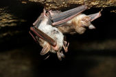Bat holding on a wall — Stock Photo