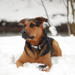 Stock Photo: Dog on snow