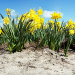 Narcissus Field — Stock Photo