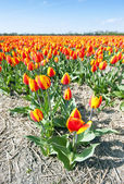 Millions of tulips — Stock Photo