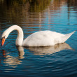 Swan in the lake — Stock Photo