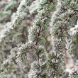 Frost on pine — Stock Photo #4593078