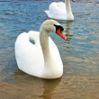 Swans in lake — Stock Photo