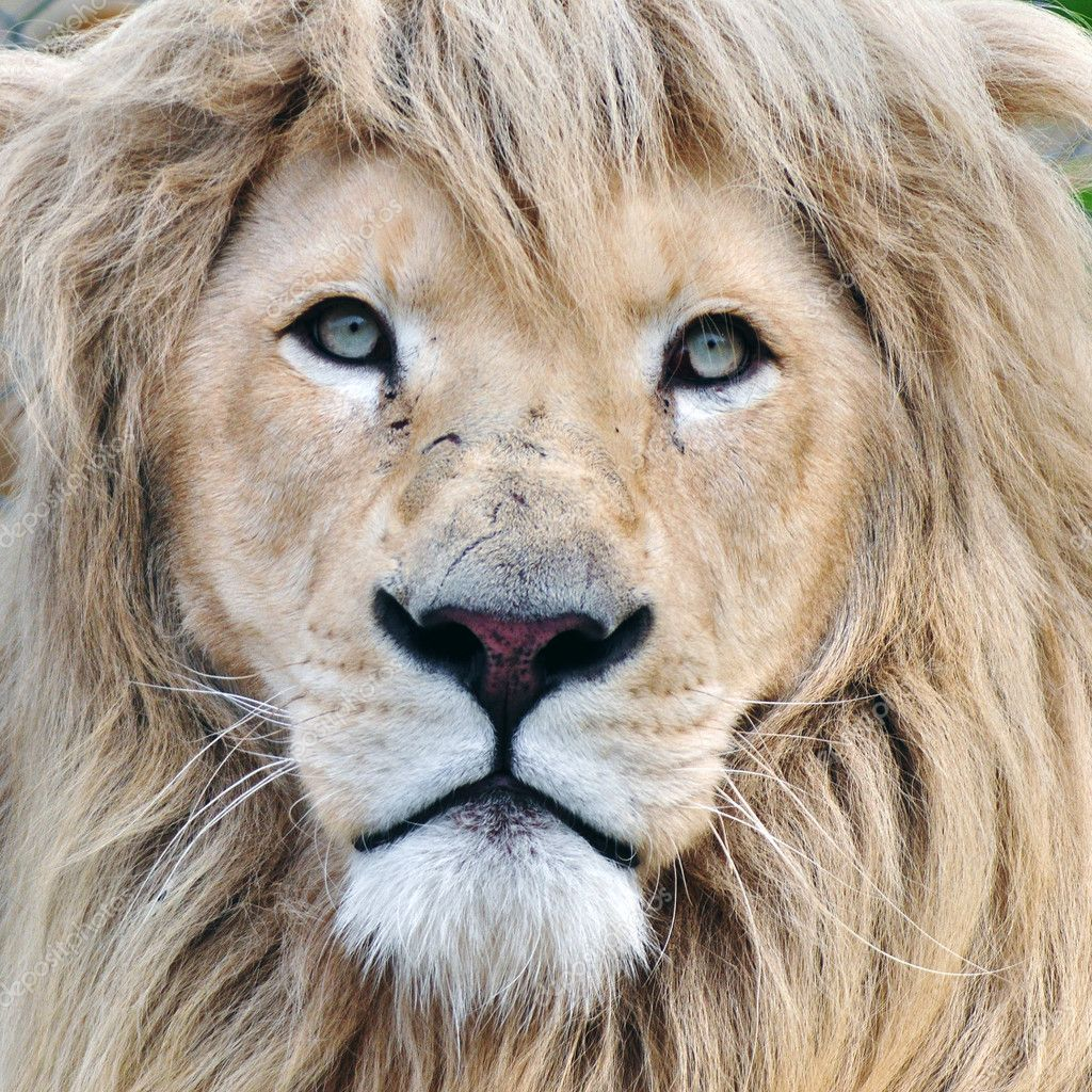 1000 shoes white lion animal pictures