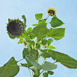 Tall sunflower or sunflower (Helianthus), family Asteraceae — Foto de stock #3925324