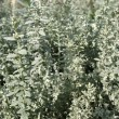 Pursha wormwood (Artemisia purshiana), family Asteraceae — Stock Photo