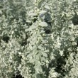 Pursha wormwood (Artemisia purshiana), family Asteraceae - Stock Photo