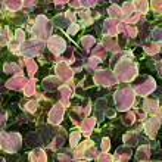 White clover (Trifolium repens). Background — Stock Photo