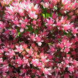 Blooming Sedum prominent, or stonecrop (sedum), family Crassulaceae — Stock Photo