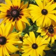 Hybrid rudbeckia (Rudbeckia x hybrida) — Stock Photo