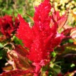 Celosia argentea, a family of Amaranth — Stock Photo