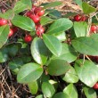 Gaulteriya Recumbent (Gaultheria procumbens), the family Ericaceae - Stock Photo