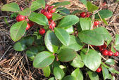 Gaulteriya Recumbent (Gaultheria procumbens), the family Ericaceae — Stock Photo