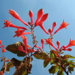 Stock Photo: Fuchsia, family Onagraceae
