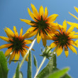 Hybrid rudbeckia (Rudbeckia x hybrida) against the blue sky — Stock Photo