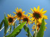 Hybrid rudbeckia (Rudbeckia x hybrida) against the blue sky — Stock Photo