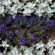 Herbaceous border of Lobelia erinus and Cineraria maritima — Stock Photo