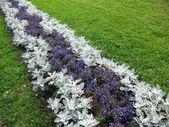 Herbaceous border of Lobelia erinus and Cineraria maritima — Stock Photo