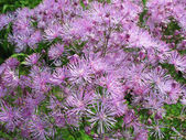 Meadow-rue (Thalictrum aquuigelifolium) in the garden — Foto Stock