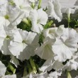 White petunia (Petunia), nightshade family (Solanaceae) — Stock Photo