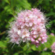 Blooming Japanese spirea (Spiraea japonica), the family Rosaceae — Stock Photo