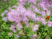 Meadow-rue (Thalictrum aquuigelifolium) in the garden — Stock Photo