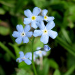 The blue flowers of forget-me (Myosotis) in the garden - Stock Photo