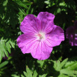 Geranium, Geranium family — Photo
