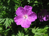 Geranium, Geranium family — Stock Photo