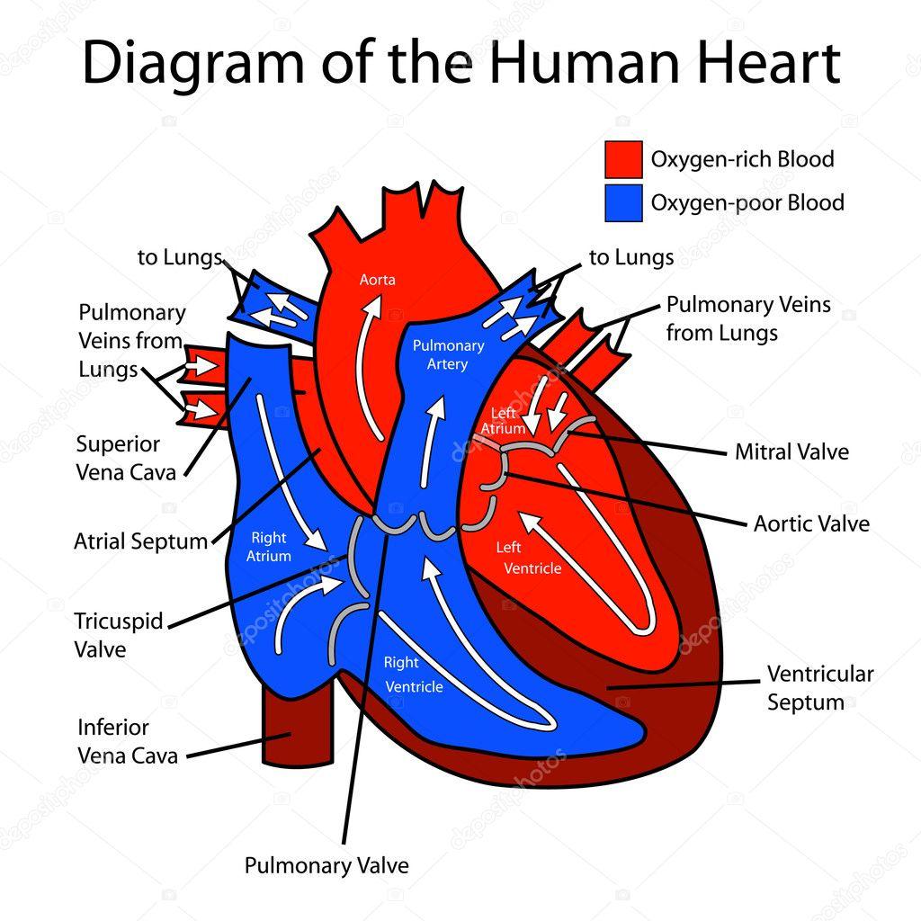 the human heart diagram – applecool, Muscles