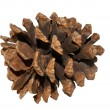 Close Up View of a Pine Cone — Stock Photo