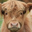 Cow Highland — Stock Photo #4098932