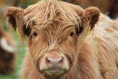 Cow Highland — Stock Photo