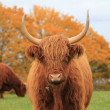 Stockfoto: Cow Highland