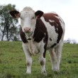 Cow — Stock Photo #4163597