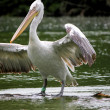 Pelican white and black - Photo