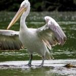 Pelican white and black — Stock Photo