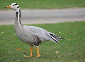 Goose and grass — Stock Photo