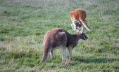 Kangaroo and grass — Foto Stock