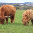 Scottish highland cow — Stock Photo #5303722