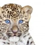 Постер, плакат: Leopard cub