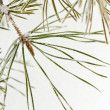 Coniferous pine branch — Stock Photo