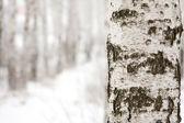 Birch in winter forest — Stok fotoğraf
